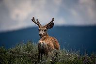 Cervo che guarda indietro