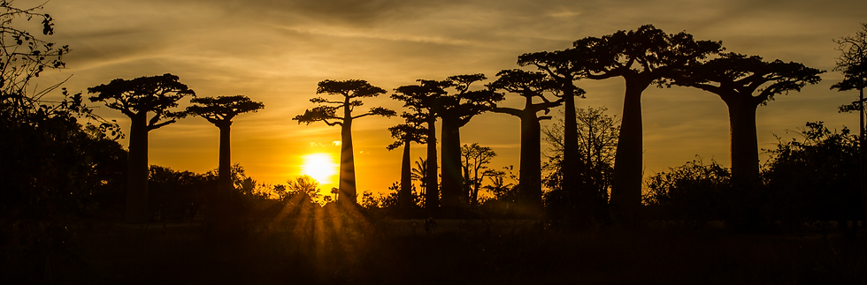Avenue%20of%20the%20Baobabs%20with%20lea