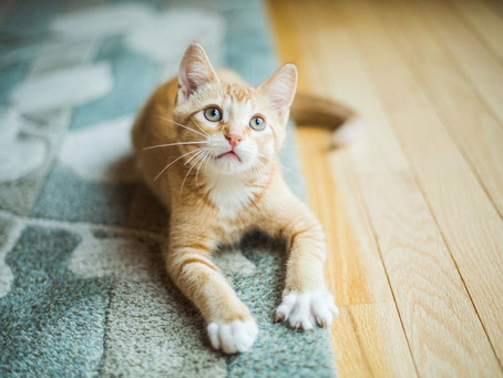 4 Cara Paling Berkesan Untuk Hilangkan Bau Kencing Kucing