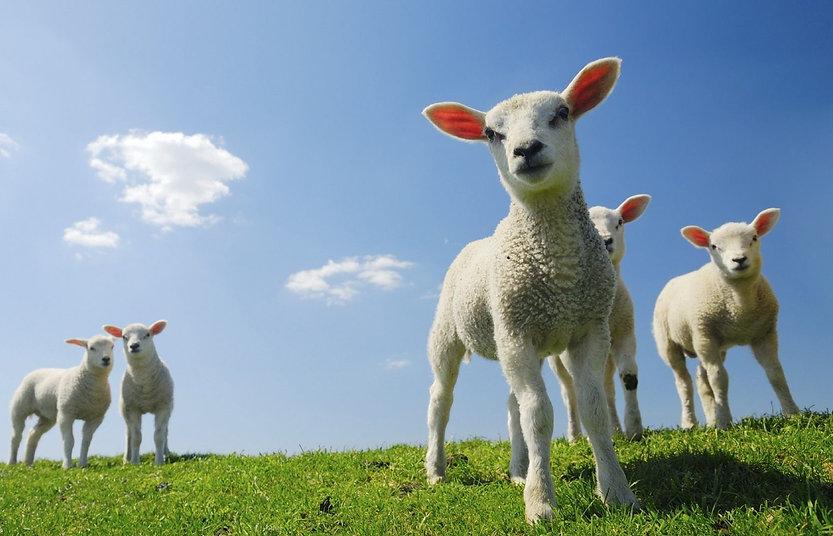 Lambs Best.jpg