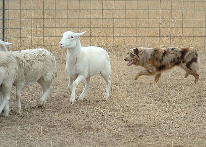 kid sheep 2.jpg