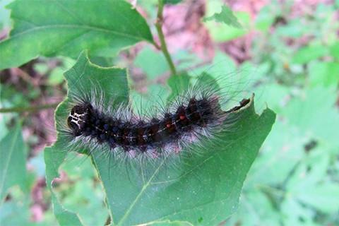 Do You Treat For Gypsy Moths?