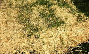 How long should I leave the straw net on my lawn?