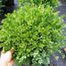 A Little Bit About Boxwoods