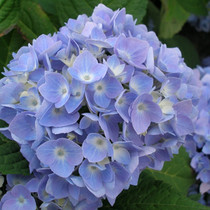 Great Tips On Pruning Hydrangeas