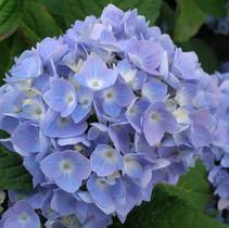 Great Tips On Pruning Hydrangeas