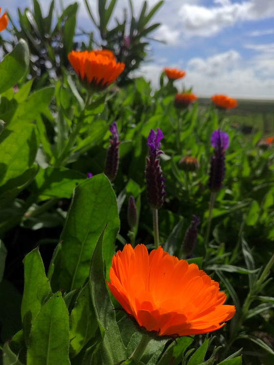 Calendula, edible, beautiful and medicinal a how to grow guide