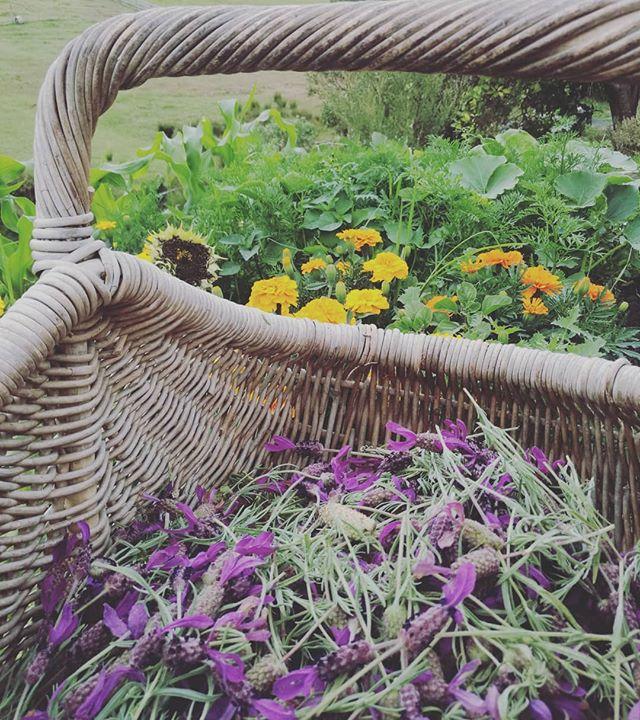 Summer baskets full of blooms!_#flowermedicine #essentialoils #hydrosol #organicgardening #gardentop