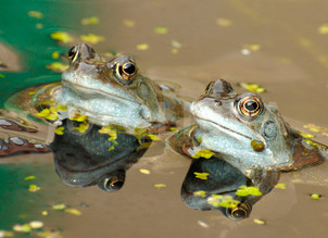 Spring frogs/frog poetry