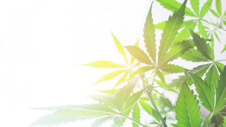 Cannabis.jpg