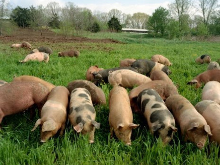 Pork: The Other White Meat???