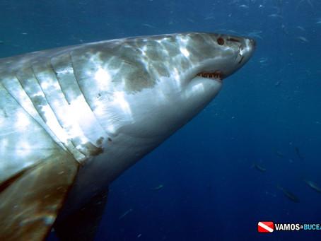 El Grán Tiburón Blanco - Isla de Guadalupe, MX.