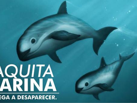 La Vaquita Marina | Se niega a desaparecer
