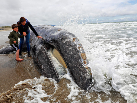 Cambio climático: Miles de ballenas están muriendo.