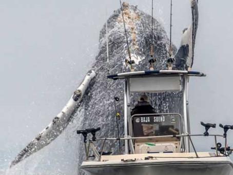 Ballena jorobada por poco aplasta una pequeña embarcación