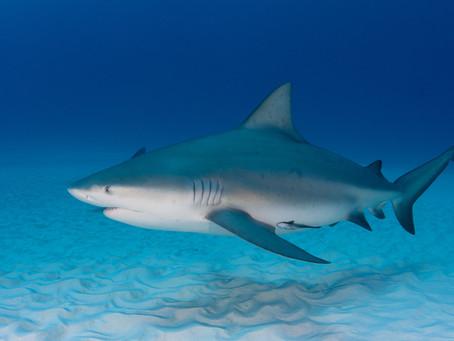 Tiburón Toro, Playa del Carmen
