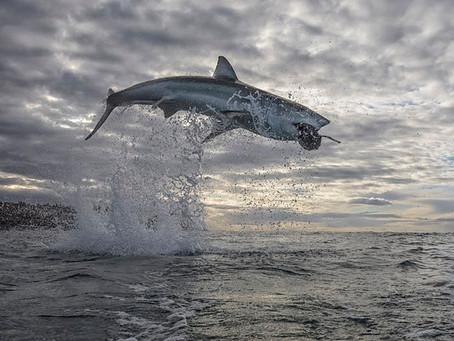 Récord mundial: captan a un tiburón blanco que vuela a cinco metros de la superficie del mar