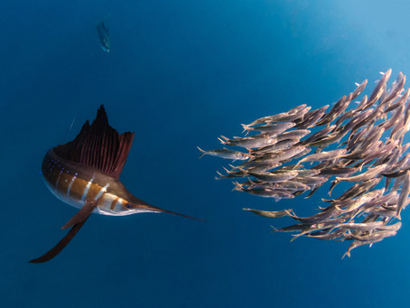 Pez Vela | Sailfish Mexico