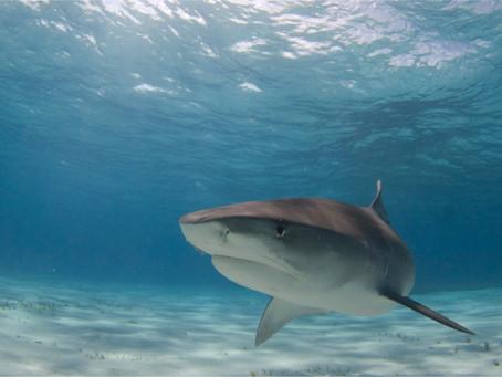 Tiburón Tigre en Tiger Beach Bahamas