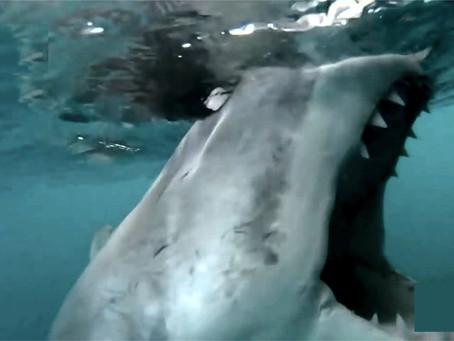 Tiburón blancomuerde el motor de una lancha durante ¡15 minutos!