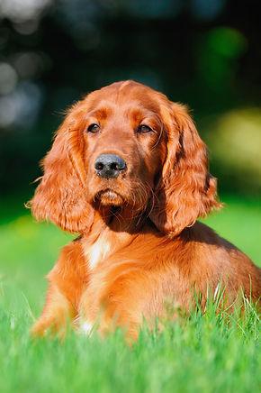 Irish Setter Dog Puppy