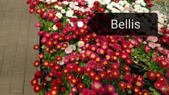 BELLIS FLORALBESINA-min.jpg