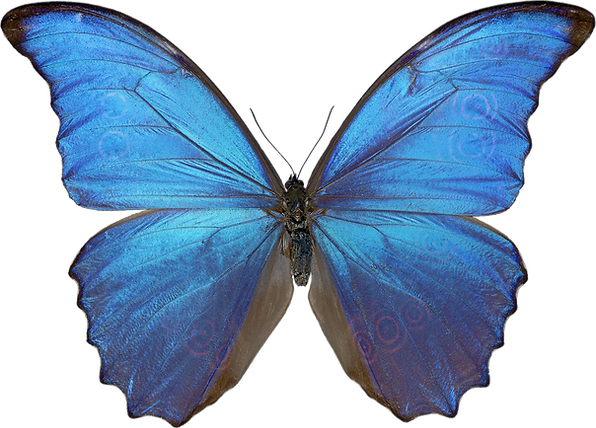 butterfly_PNG1053.png