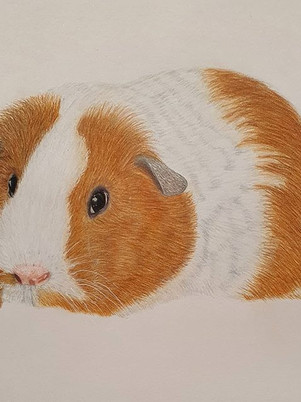 Guinea Pig Drawing by James Carter Art