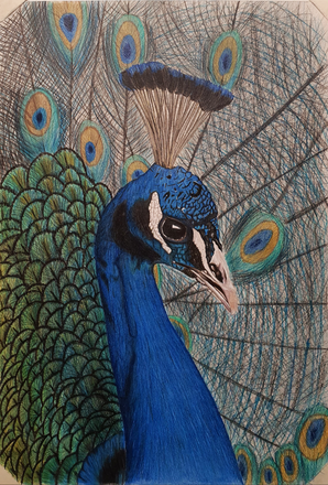 Peacock Drawing by James Carter Art