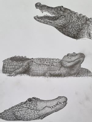 Alligator Sketches