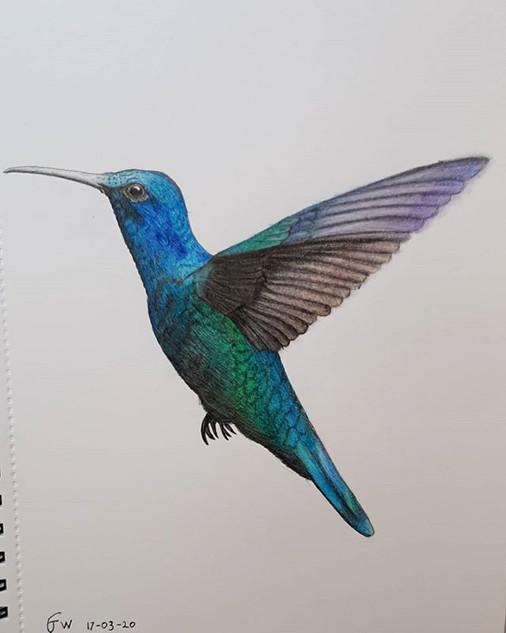 Humming Bird Drawing by James Carter Art