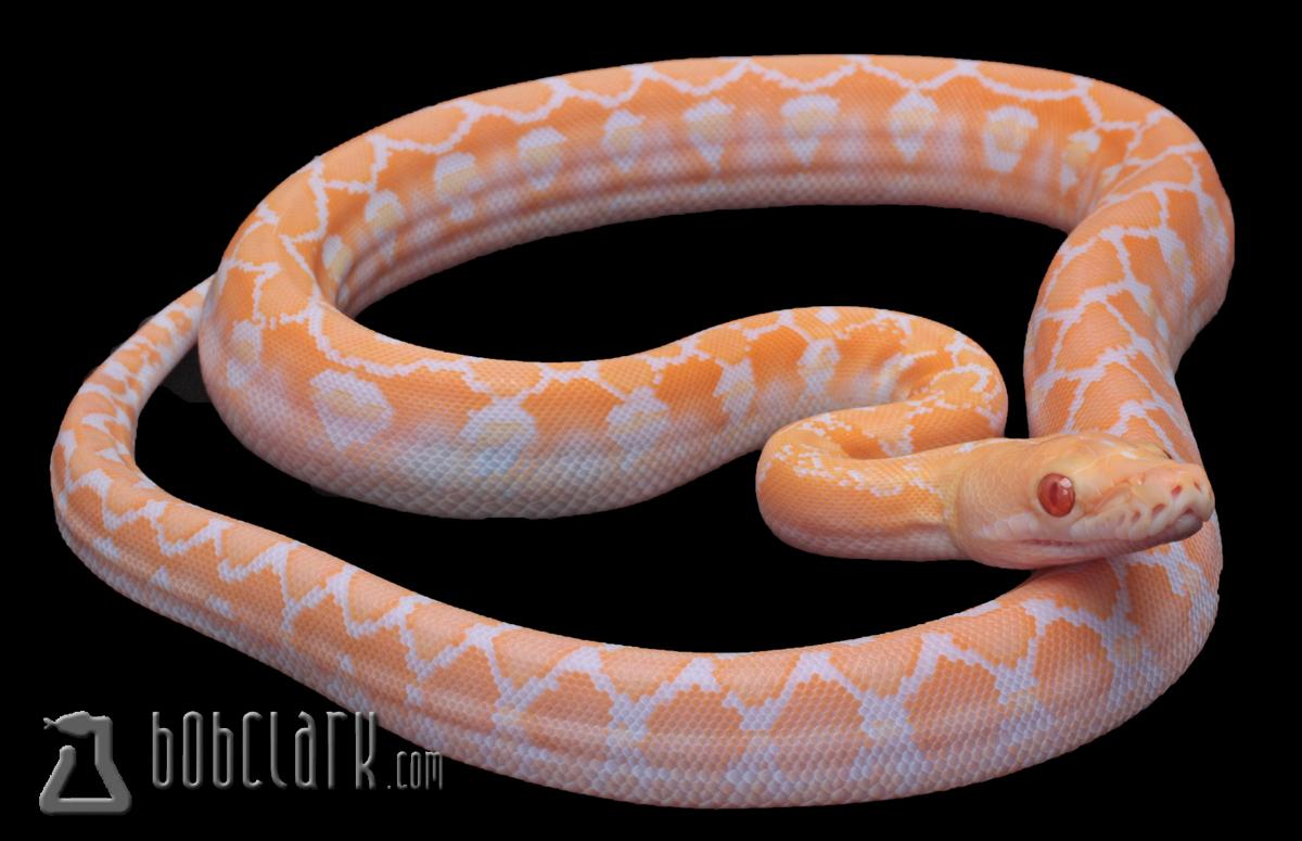 Super dwarf albino