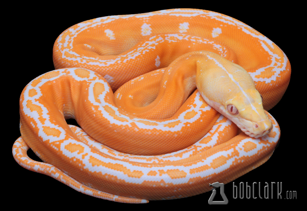 Albino golden child