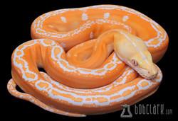 Albino golden child