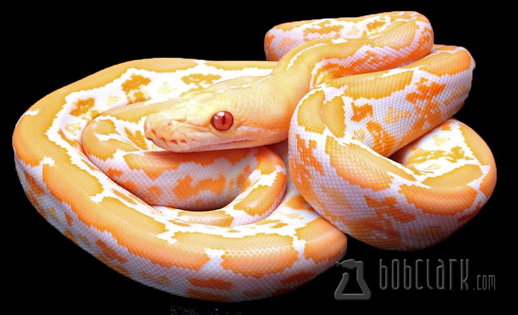 Albino tiger het Pied
