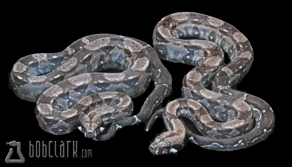 Type II anery Nicaraguan boas