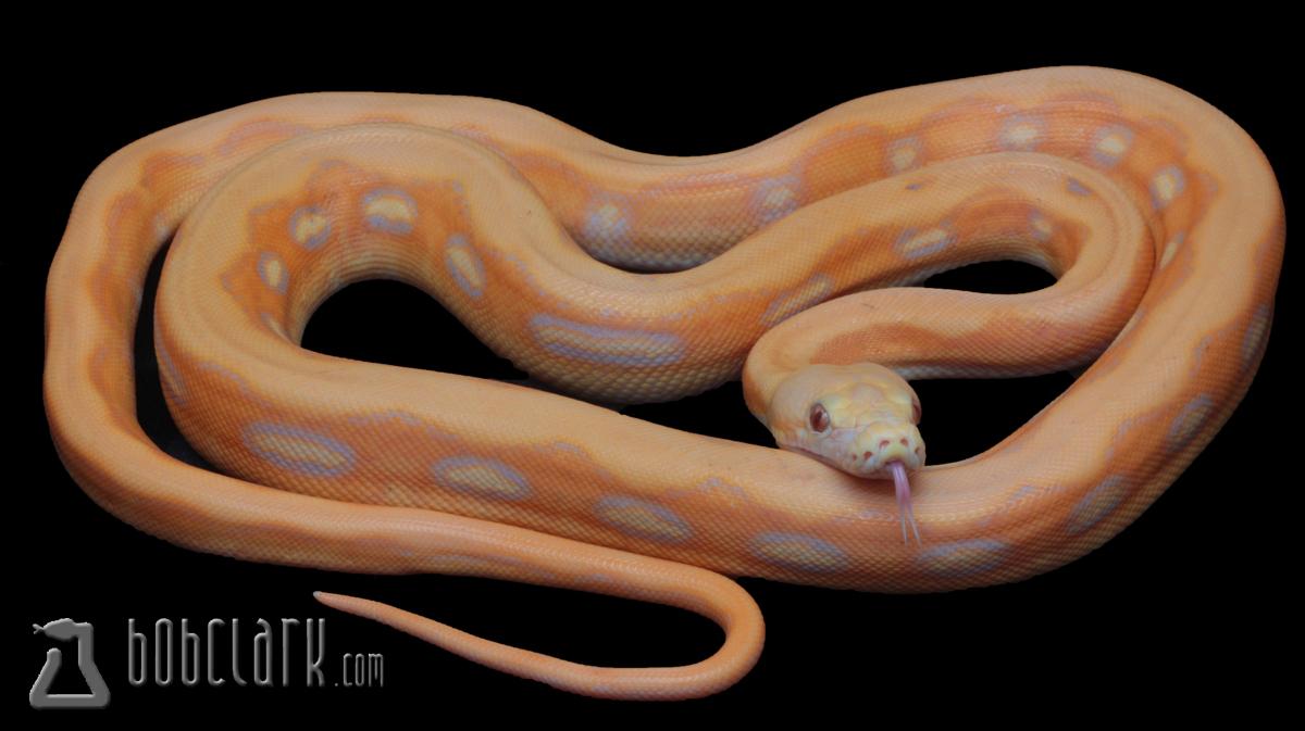 Lavender albino sunfire tiger