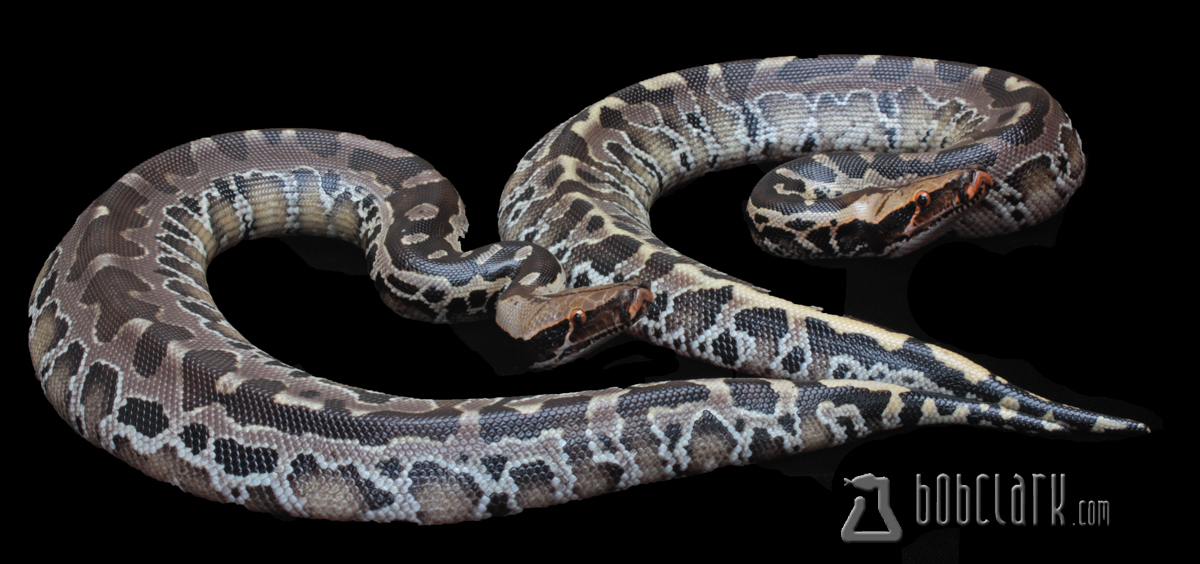 Black blood pythons