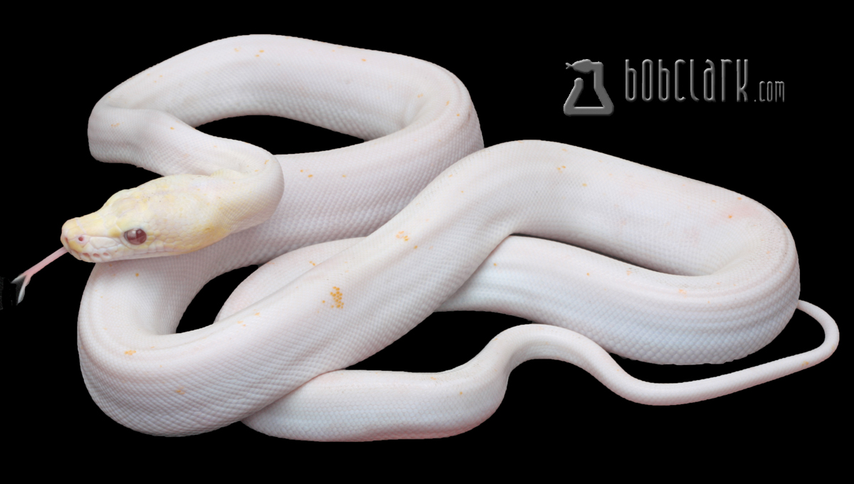 Albino super motley fire