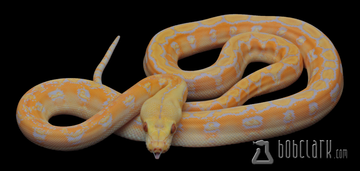 Lavender albino phantom