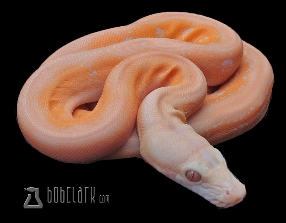 Albino motley super tiger