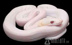 Albino super motley fire