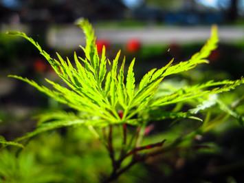 newly leafed Japanese Maple