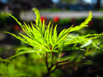 newly leafed Japanese Maple