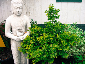 This smaller growing Gingko tree is a great focal point and compliment to a statue or front space by an entrance.