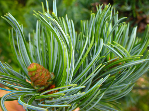 The underside of this dwarf conifer adds variation in light and color that works will as a focal point or to bring out something colorful in the foreground.