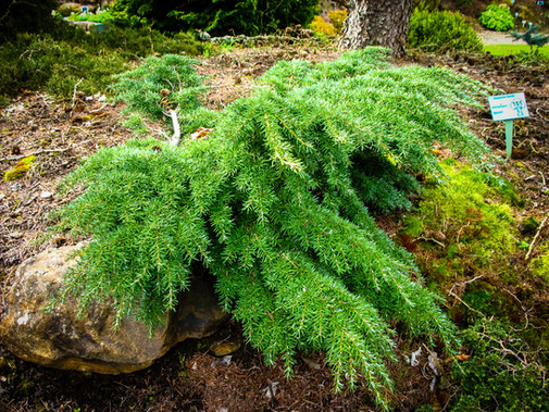 minature conifers like this dwarf Hemlock stay small and add interest all year long