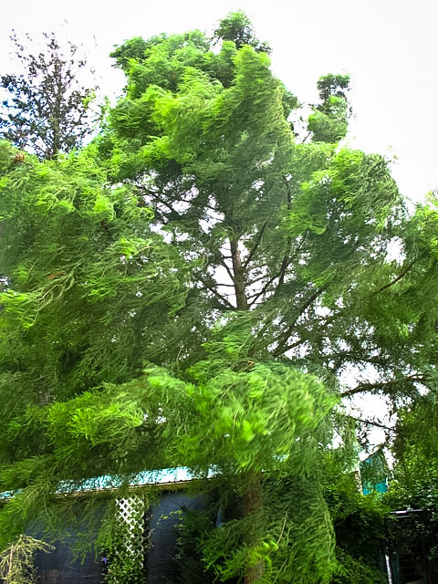 movement and sound instilled in this bald cypress