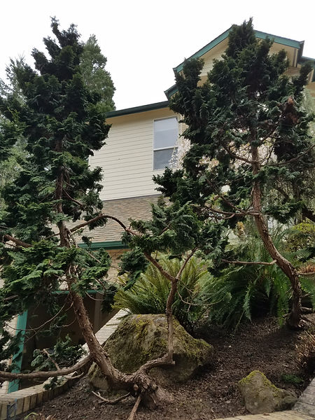 hinoki pruning.jpg
