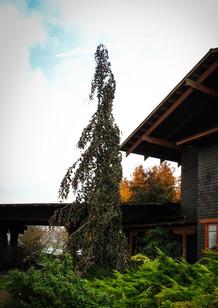 tree specimen for height